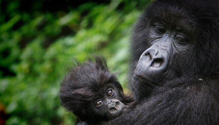 SAVING-THE-GORILLAS-virunga-monitors.jpg